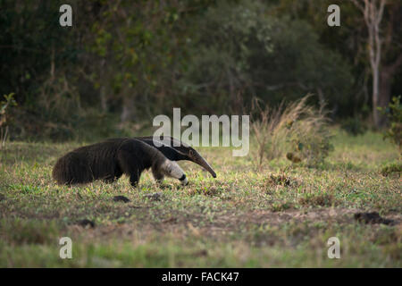 A Giant Anteater from the Pantanal - Stock Photo