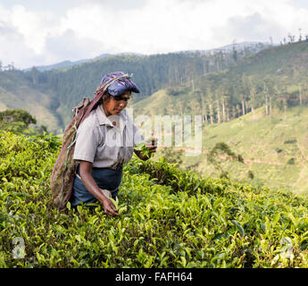 Tamil woman picks tea in a tea estate near Hatton in the Central Province of Sri Lanka - Stockfoto