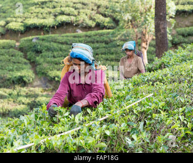 Tamil women pick tea at tea estate near Hatton, Sri Lanka - Stockfoto