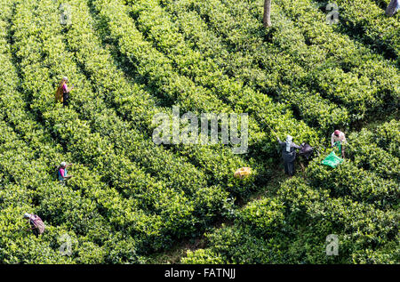 Tamil women picking tea at tea estate near Hatton, Sri Lanka. View from hillside above shows rows of tea plants - Stockfoto