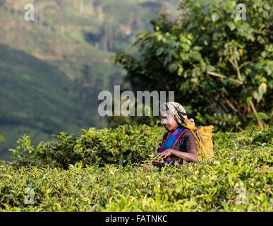 Tamil woman picks tea at tea estate near Hatton, Sri Lanka - Stockfoto