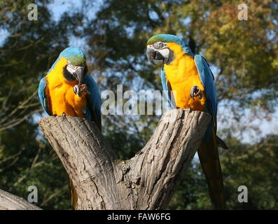 Pair of South American Blue and yellow macaws (Ara ararauna)  feeding on nuts - Stock Photo