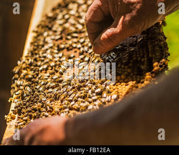 Beekeeper inspecting bee hive - Stock Photo