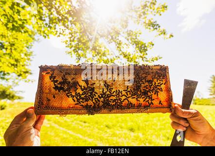 Beekeeper holding honeycomb - Stock Photo