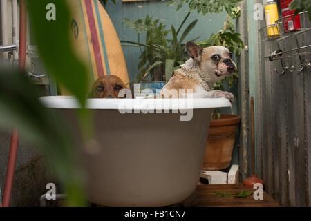 Basset hound and wet French bulldog in bathtub looking at camera - Stock Photo