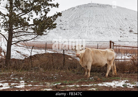Portrait of a cow on the background of snow in Israel - Stock Photo