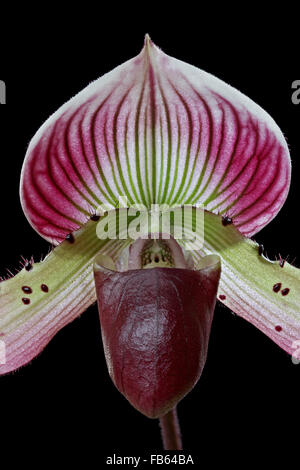 Hybrid orchid, Paphiopedilum Hsinying X Paph. Callosum - Stockfoto