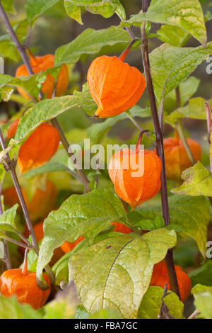 physalis alkekengi chinese lantern fruit also named winter cherry stock photo 40022918 alamy. Black Bedroom Furniture Sets. Home Design Ideas