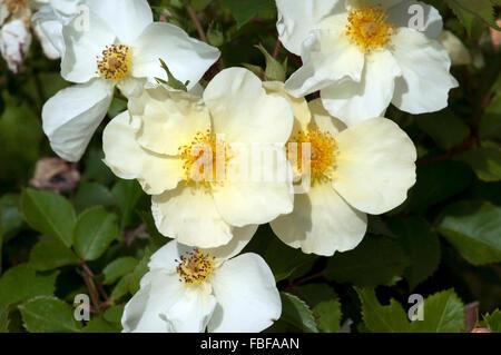 rosa 39 kew gardens david austin roses stock photo royalty free image 79458941 alamy. Black Bedroom Furniture Sets. Home Design Ideas