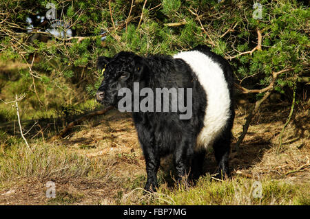 Aberdeen Angus cattle grazing around Blackdown - South Downs National Park, Sussex, England - Stock Photo