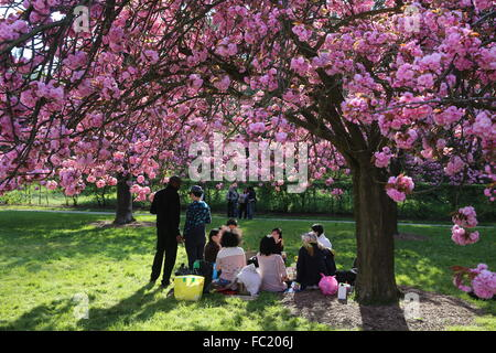 Cherry blossoms in Sceaux Park. - Stock Photo