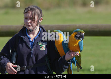 Blue and Yellow Macaws (Ara ararauna), perching on the arm of animal trainer, Banham Zoo, Norfolk. Performing Bird - Stock Photo
