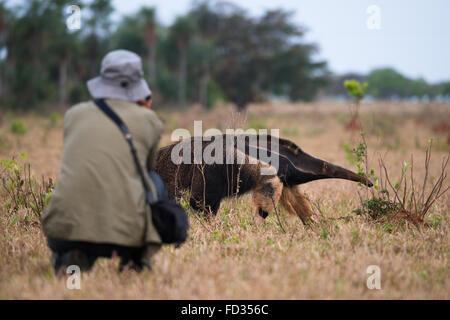 A tourist photographs a Giant Anteater near the Pantanal - Stock Photo