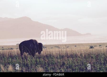 A bison standing near the water on Antelope Island at the Great Salt Lake, Salt Lake City, Utah. - Stock Photo