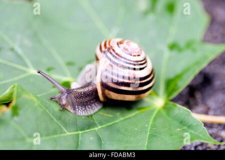 Image of the common garden snail taking a walk on a green leaf. - Stock Photo