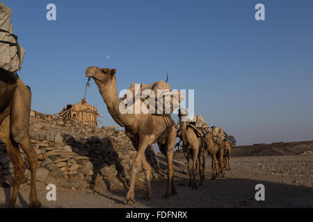 Camels carrying hand-cut tablets of salt arrive in Hamedila from the nearby salt pans as they have done for hundreds - Stock Photo