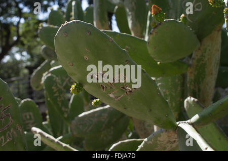 Sunlit cacti in Bolivia with graffiti in Spanish te amo e.g. I love you, engraved in one of the cactus leaves or - Stock Photo