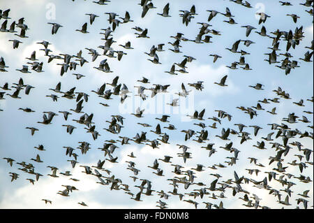 Flock of ducks and geese flying, Barhöft, Mecklenburg-Western Pomerania, Germany - Stock Photo