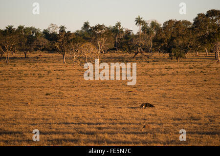 A Giant Anteater foraging on a pasture in Central Brazil - Stock Photo