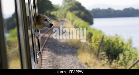 Pippa the Jack Russell looks out from the train on the Bala Lake Railway - Stock Photo