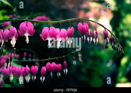 Close-Up Of Pink Bleeding Hearts Blooming In Park - Stock Photo