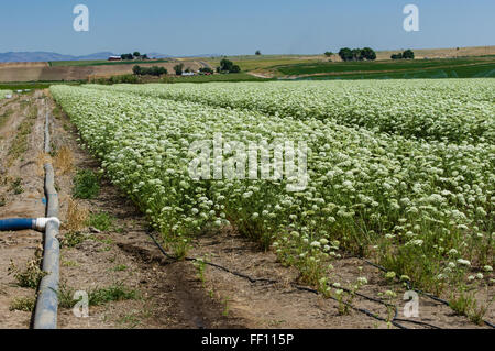 Field of carrot plants being grown to harvest seed for future production.  Eastern Oregon - Stock Photo
