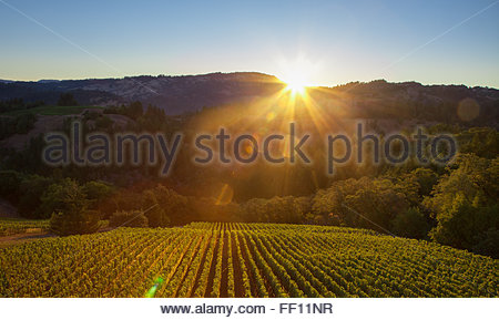 A stunning aerial view of many rows of grape vines at sunset in wine country. - Stockfoto