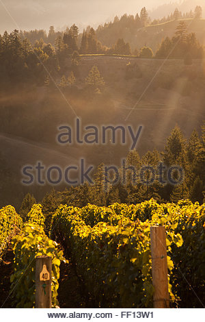 A beautiful view of mist over a vineyard at sunrise. - Stock Photo