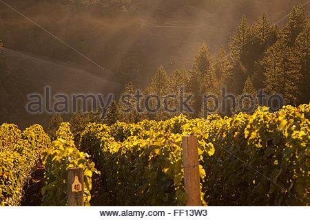 A beautiful view of misty hillside vineyards - Stockfoto