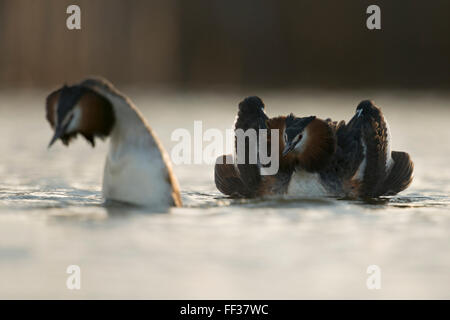 Great Crested Grebes / Haubentaucher ( Podiceps cristatus ) pair, showing their beautiful courtship display, early - Stock Photo