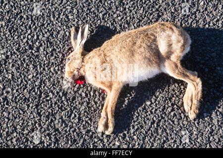 Hare,rabbit road kill body left on road in a rural setting near Waihi,Coromandel Peninsula,North Island,New Zealand - Stock Photo
