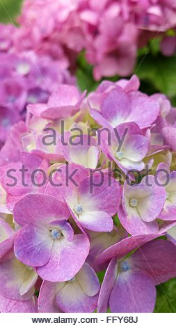 Close-Up Of Hydrangeas Blooming On Field - Stock Photo