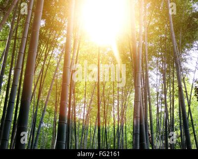 Sunlight On Bamboo Growing In Forest - Stock Photo
