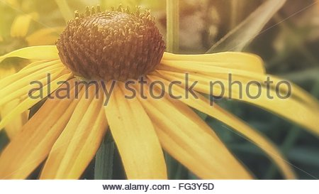 Close-Up Of Black-Eyed-Susan Blooming Outdoors - Stock Photo