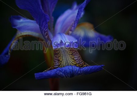 Close-Up Of Blue Iris Blooming At Field - Stock Photo