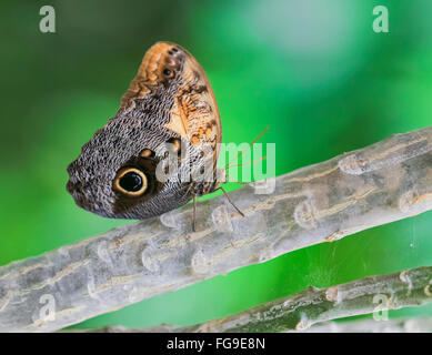 Helena Morpho (Morpho helenor carillesis) - Stockfoto