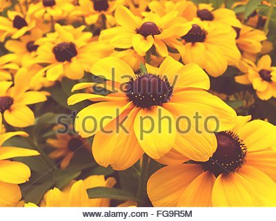 Close-Up Of Black-Eyed Susan Blooming Outdoors - Stock Photo