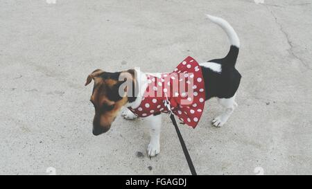 Jack Russell Terrier wearing dog winter jacket Stock Photo