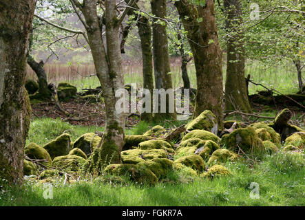 Sunlight hits moss-covered rocks in Scottish highlands woodland. - Stockfoto