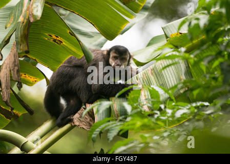 A Black Capuchin Monkey (Cebus nigritus) from the Atlantic Rainforest - Stock Photo
