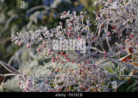 nandina heavenly bamboo sacred bamboo nandina domestica bush in stock photo royalty free. Black Bedroom Furniture Sets. Home Design Ideas
