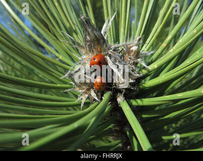 7-spot ladybird (Coccinella septempunctata) & cream streaked ladybird (Harmonia 4-punctata) on tip of an Austrian - Stockfoto