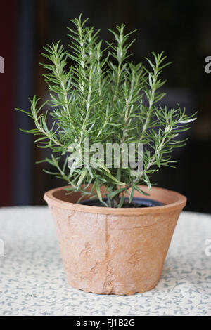 how to grow rosemary in a pot outdoors