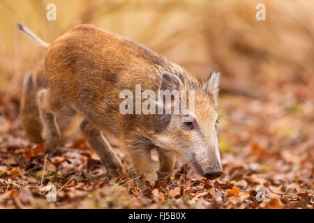 wild boar, pig, wild boar (Sus scrofa), runt, Germany, Rhineland-Palatinate - Stock Photo