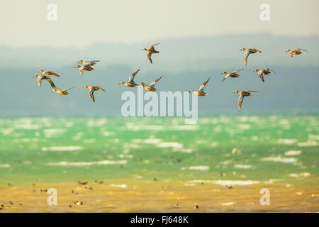 northern shoveller (Anas clypeata), flying flock of females, Germany, Bavaria, Lake Chiemsee - Stock Photo