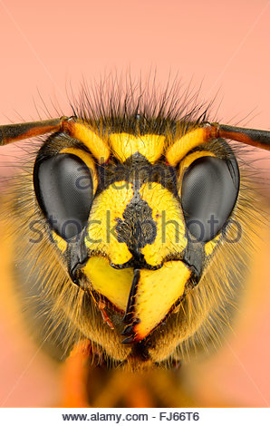 Saxon wasp (Dolichovespula saxonica, Vespula saxonica), portrait, Germany - Stock Photo