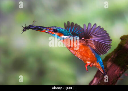 river kingfisher (Alcedo atthis), in flight with insect in its bill, Germany, North Rhine-Westphalia - Stockfoto