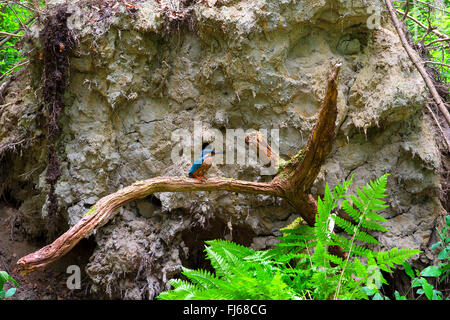 river kingfisher (Alcedo atthis), in front of the breeding cave in the roots of a fallen tree, Germany, North Rhine - Stockfoto