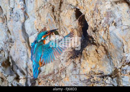 river kingfisher (Alcedo atthis), approaching the breeding cave with a caught smooth newt in its bill, Germany, - Stockfoto