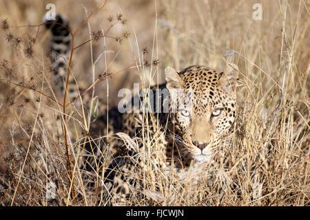 A leopard hunts in the Bushveld - Stock Photo